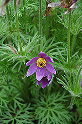 Pasqueflower (Pulsatilla vulgaris) at Town And Country Gardens