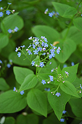 Siberian Bugloss (Brunnera macrophylla) at Town And Country Gardens