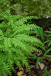 Northern Maidenhair Fern (Adiantum pedatum) at Town And Country Gardens