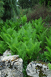 Ostrich Fern (Matteuccia strutheriopteris) at Town And Country Gardens