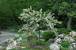 Tina Flowering Crab (Malus sargentii 'Tina') at Town And Country Gardens