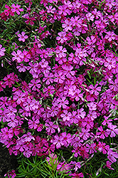 Apple Blossom Moss Phlox (Phlox subulata 'Apple Blossom') at Town And Country Gardens
