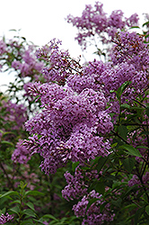 Chinese Lilac (Syringa x chinensis) at Town And Country Gardens