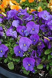Penny Blue Pansy (Viola cornuta 'Penny Blue') at Town And Country Gardens