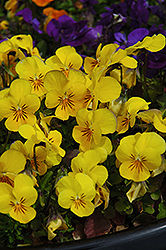 Penny Yellow Pansy (Viola cornuta 'Penny Yellow') at Town And Country Gardens