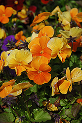 Penny Orange Pansy (Viola cornuta 'Penny Orange') at Town And Country Gardens
