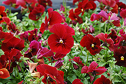 Penny Red Pansy (Viola cornuta 'Penny Red') at Town And Country Gardens