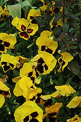 Majestic Giant Yellow Pansy (Viola x wittrockiana 'Majestic Giant Yellow') at Town And Country Gardens