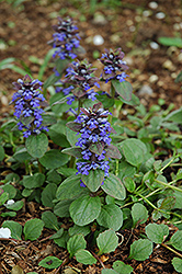 Caitlin's Giant Bugleweed (Ajuga reptans 'Caitlin's Giant') at Town And Country Gardens