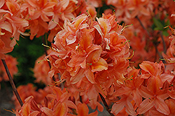 Spicy Lights Azalea (Rhododendron 'Spicy Lights') at Town And Country Gardens
