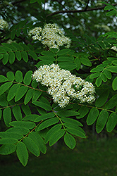 Cardinal Royal Mountain Ash (Sorbus aucuparia 'Cardinal Royal') at Town And Country Gardens