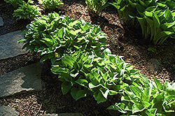 Rim Rock Hosta (Hosta 'Rim Rock') at Town And Country Gardens