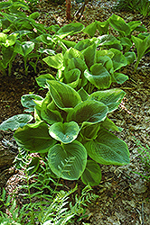 Frances Williams Hosta (Hosta 'Frances Williams') at Town And Country Gardens