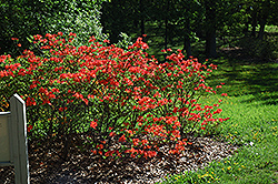 Mandarin Lights Azalea (Rhododendron 'Mandarin Lights') at Town And Country Gardens