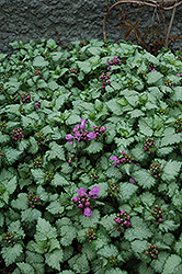 Red Nancy Spotted Dead Nettle (Lamium maculatum 'Red Nancy') at Town And Country Gardens