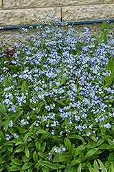 Forget-Me-Not (Myosotis sylvatica) at Town And Country Gardens