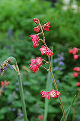 Splendens Coral Bells (Heuchera sanguinea 'Splendens') at Town And Country Gardens