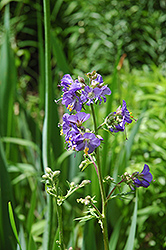 Common Jacob's Ladder (Polemonium caeruleum) at Town And Country Gardens