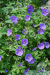 Johnson's Blue Cranesbill (Geranium 'Johnson's Blue') at Town And Country Gardens