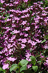 Rock Soapwort (Saponaria ocymoides) at Town And Country Gardens