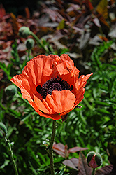 Carneum Poppy (Papaver orientale 'Carneum') at Town And Country Gardens