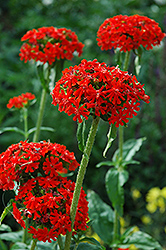 Maltese Cross (Lychnis chalcedonica) at Town And Country Gardens