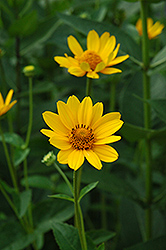 False Sunflower (Heliopsis helianthoides) at Town And Country Gardens
