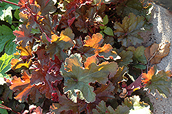 Chocolate Ruffles Coral Bells (Heuchera 'Chocolate Ruffles') at Town And Country Gardens
