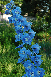 Summer Skies Larkspur (Delphinium 'Summer Skies') at Town And Country Gardens