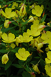 Yellow Sundrops (Oenothera tetragona) at Town And Country Gardens