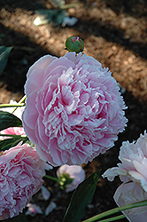 Shirley Temple Peony (Paeonia 'Shirley Temple') at Town And Country Gardens