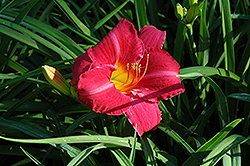 Seductor Daylily (Hemerocallis 'Seductor') at Town And Country Gardens