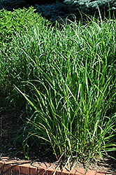 Switch Grass (Panicum virgatum) at Town And Country Gardens