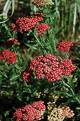 Fanal Yarrow (Achillea millefolium 'Fanal') at Town And Country Gardens