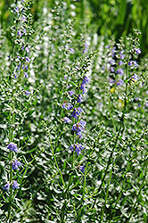 Hyssop (Hyssopus officinalis) at Town And Country Gardens