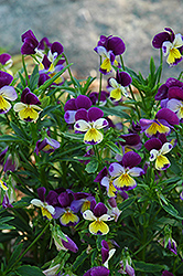 Johnny Jump-Up (Viola tricolor) at Town And Country Gardens