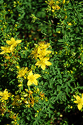 St. John's Wort (Hypericum perforatum) at Town And Country Gardens