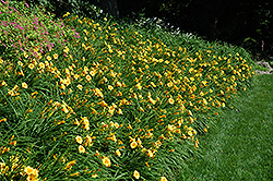 Happy Ever Appster® Happy Returns Daylily (Hemerocallis 'Happy Returns') at Town And Country Gardens