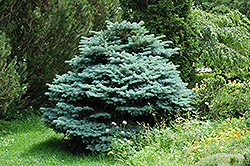 Globe Blue Spruce (Picea pungens 'Globosa') at Town And Country Gardens
