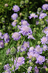 Blue Mist Pincushion Flower (Scabiosa 'Blue Mist') at Town And Country Gardens