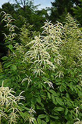 Goatsbeard (Aruncus dioicus) at Town And Country Gardens