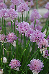 Chives (Allium schoenoprasum) at Town And Country Gardens