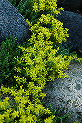 Six Row Stonecrop (Sedum sexangulare) at Town And Country Gardens