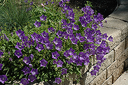 Blue Clips Bellflower (Campanula carpatica 'Blue Clips') at Town And Country Gardens