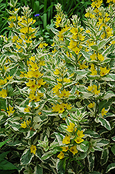 Alexander Loosestrife (Lysimachia punctata 'Alexander') at Town And Country Gardens