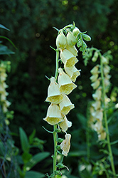 Yellow Foxglove (Digitalis grandiflora) at Town And Country Gardens
