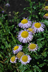Blue Beauty Fleabane (Erigeron 'Blue Beauty') at Town And Country Gardens