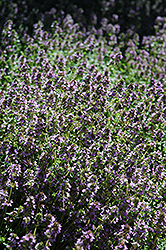 Lemon Thyme (Thymus x citriodorus) at Town And Country Gardens