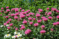 Marshall's Delight Beebalm (Monarda 'Marshall's Delight') at Town And Country Gardens