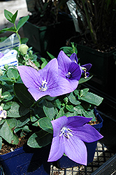 Astra Blue Balloon Flower (Platycodon grandiflorus 'Astra Blue') at Town And Country Gardens